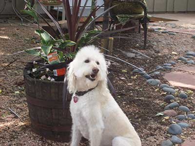 White pup posing in back yard after grooming